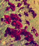 Dark red carnation flowers on field (toned). Beautiful dark red carnation flowers (Dianthus caryophyllus, Chabaud) on field. Slightly toned, shallow depth of Stock Image