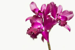 Dark red cattleya Stock Photography