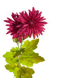 Dark red chrysanthemum flowers Royalty Free Stock Image