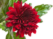 Dark red chrysanthemum Stock Photography