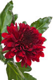 Dark red chrysanthemum Royalty Free Stock Photos