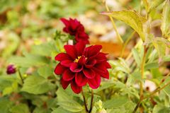 Dark red dahlia close up macro with green leafs stock images