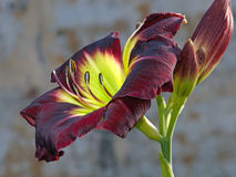 Dark red day lily Royalty Free Stock Images