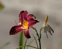 Dark red day lily Royalty Free Stock Photos