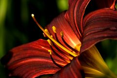 Dark Red Daylily In Close View Stock Photo