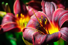 Dark Red Daylily Royalty Free Stock Photos