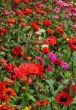 Dark red decorative garden flowers and buds in the bryant park, kodaikanal. Dark red decorative flowers and buds in the bryant garden, kodaikanal. Kodaikanal is stock image