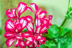 Dark red double pelargonium flowers. With thin white stripes along petals Royalty Free Stock Photo