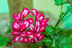Dark red double pelargonium flowers. With thin white stripes along petals Stock Photos