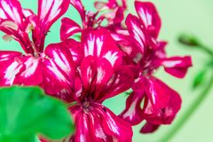 Dark red double pelargonium flowers. With thin white stripes along petals Stock Photography