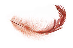 Dark red feather isolated on white Stock Photos