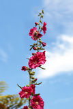 Dark red flower of common hollyhock Alcea rosea Royalty Free Stock Image