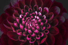 Dark red flower petals, close up and macro of chrysanthemum, beautiful abstract background Royalty Free Stock Photography