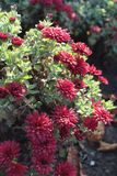 Dark red flowers of Chrysanthemum. In November Royalty Free Stock Photography