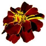Dark red garden flower Royalty Free Stock Images