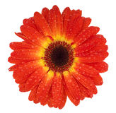 Dark red gerbera. With a dew drops and a yellow ring in center Stock Photography