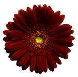 Dark red    gerbera flower, white isolated background with clipping path.   Closeup.  no shadows.  For design. Nature Royalty Free Stock Image