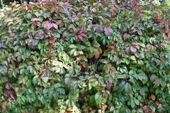 Dark red and green leaves of Parthenocissus quinquefolia. Dark red and green leafage of Parthenocissus quinquefolia Royalty Free Stock Photography