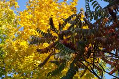 Dark red leaves of vinegar tree and yellow and green leafage of maple. In autumn Stock Image