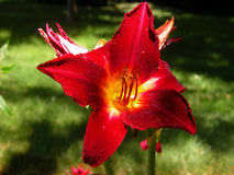 Dark Red Lily. A dark red lily is covered when water drops in a summer garden Stock Images