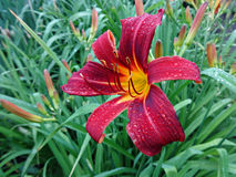 Dark red Lily in the garden after the rain Royalty Free Stock Photos