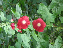 Dark red mallows. Dark red mallow flowers in the garden and green leaves Royalty Free Stock Photo