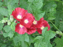 Dark red mallows. Dark red mallow flowers in the garden and green leaves Royalty Free Stock Photos