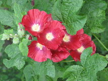 Dark red mallows. Dark red mallow flowers in the garden and green leaves Stock Photos