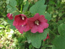 Dark red mallows. Dark red mallow flowers and green leaves Stock Photography