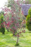 Dark red malus plant. Tree growing Royalty Free Stock Photo