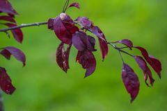 Dark red malus plant. Tree growing Stock Images