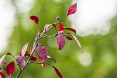 Dark red malus plant. Tree growing Royalty Free Stock Photography
