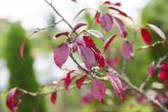 Dark red malus plant. Tree growing Royalty Free Stock Photos