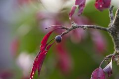 Dark red malus plant. Tree growing Stock Photography