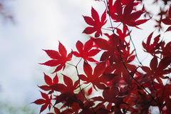 Dark red maple leaves in the sky as background. The natural pattern, Shoot in Hamilton, Ontario, Canada Stock Photo
