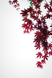 Dark red maple leaves in the sky as background Royalty Free Stock Images