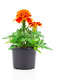 Dark red marigold in pot Stock Image