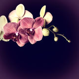 Dark red orchid. On a black background Stock Photo