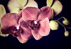 Dark red orchid Royalty Free Stock Images