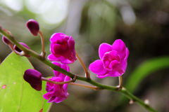 Dark red orchid (Doritis pulcherrima) Royalty Free Stock Photos