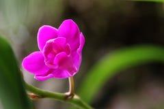 Dark red orchid (Doritis pulcherrima) Stock Photography