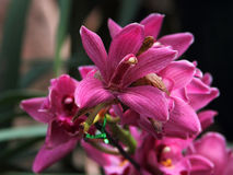 Dark Red Orchid (Hybrid Cymbidium). A cluster of Dark Red Orchid (Hybrid Cymbidium), Captured under the natural environment Stock Photos