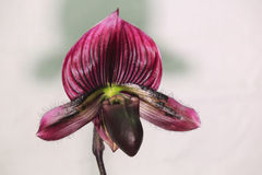 Dark red orchid- shoe Royalty Free Stock Image