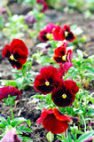 Dark red Pansy Royalty Free Stock Images