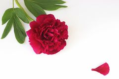 Dark red peony and a petal lying on white background. Dark red peony and a petal of the blossom lying on white background, greeting card with copy space royalty free stock images