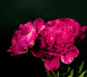 Dark red peony Royalty Free Stock Image