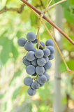 Dark red, purple grapes fruit hang, Vitis vinifera (grape vine) green leaves in the sun, close up Stock Photography