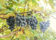 Dark red, purple grapes fruit hang, Vitis vinifera (grape vine) green leaves in the sun, close up Royalty Free Stock Photography