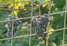 Dark red, purple grapes fruit hang, Vitis vinifera (grape vine) green leaves in the sun, close up Stock Photos