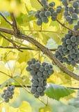 Dark red, purple grapes fruit hang, Vitis vinifera (grape vine) green leaves in the sun, close up Royalty Free Stock Image